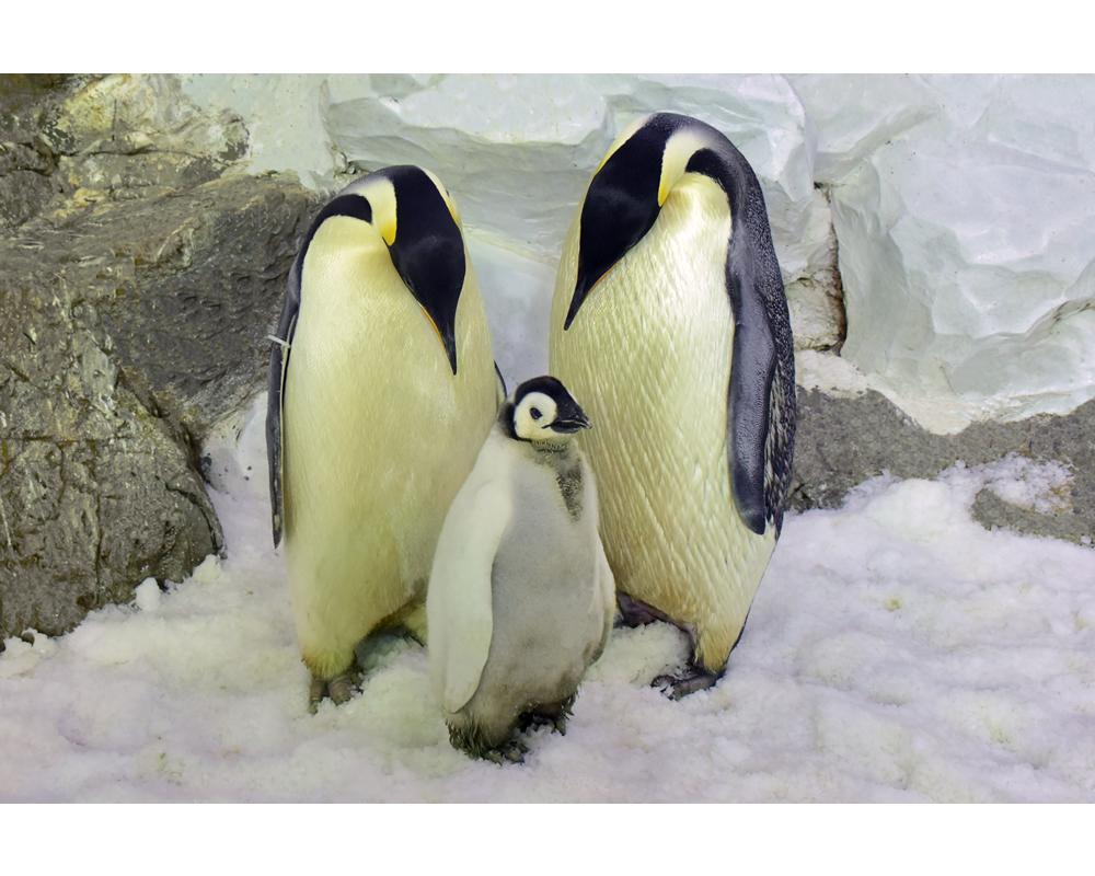 種の保存 エンペラーペンギン